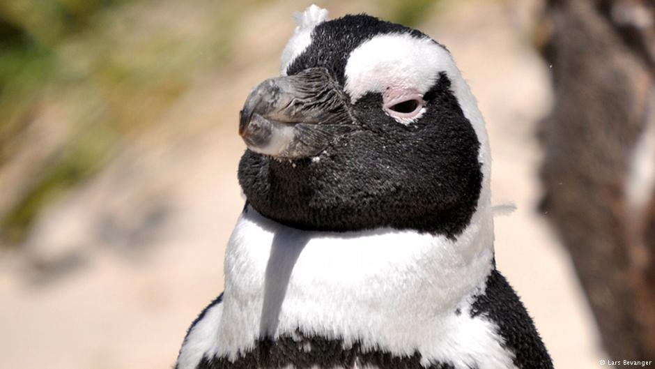 Cute won't cut it: many penguins are threatened with extinction
